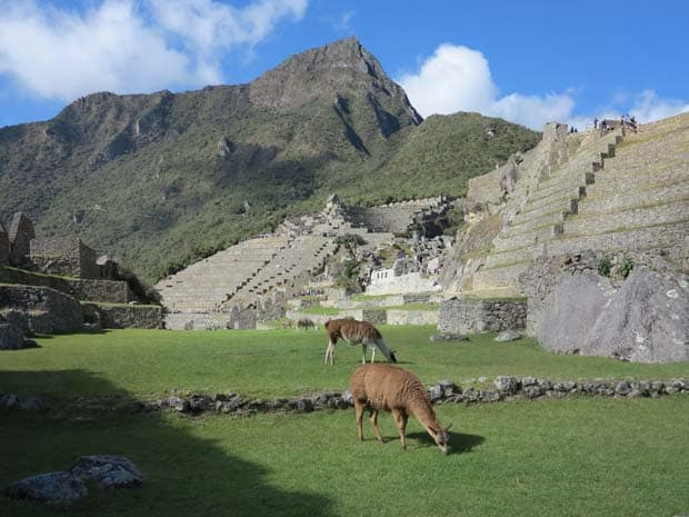 Steep stone steps of a ruin with llamas grazing on the grass in the courtyard of Machu Picchu.