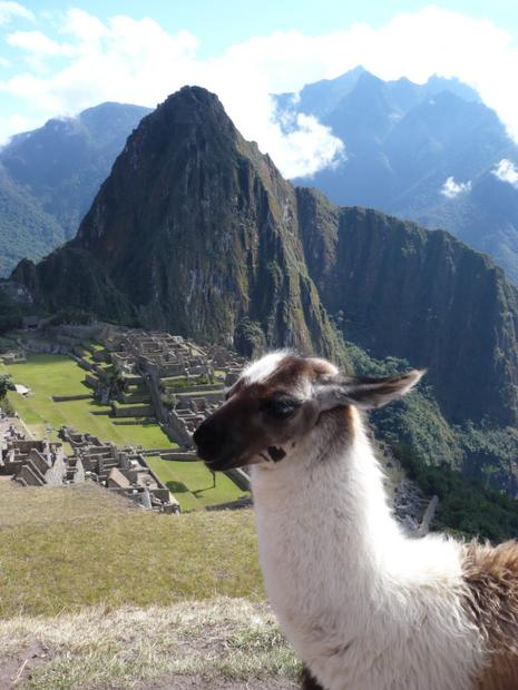 Brown and white alpaca in front of Machu Picchu.