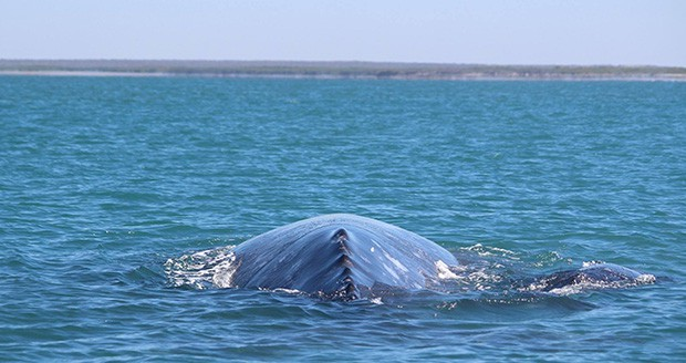 The backside of a gray whale as it floats above the water in Baja.