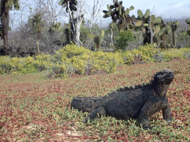 Galapagos marine iguana walking on red and green ground cover with candelabra cactus.