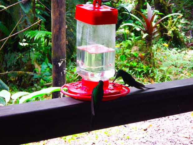 Green hummingbirds drinking from a red feeder on top of a railing in the rainforest.