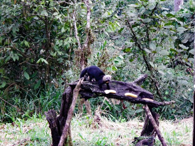 Tayra weasal walking on a tree bark with plantains.