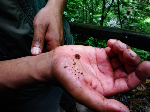 A Mashpi guide holding a tiny frog.