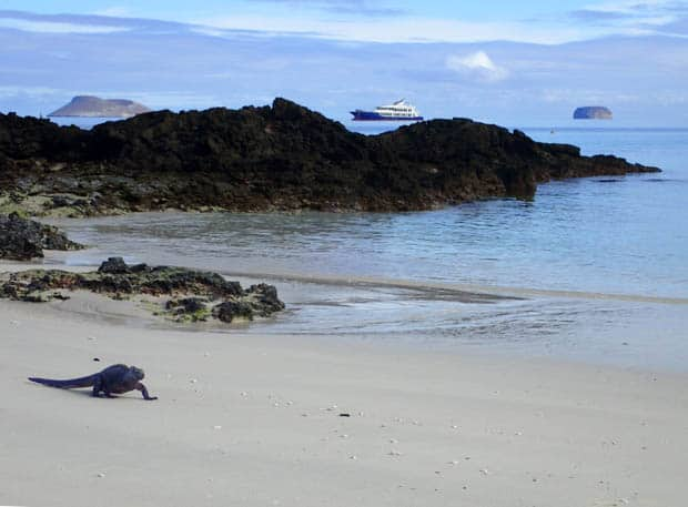Galapagos marine iguana walking on a sandy beach with the small ship cruise Origin and 2 volcanic islands in the background.