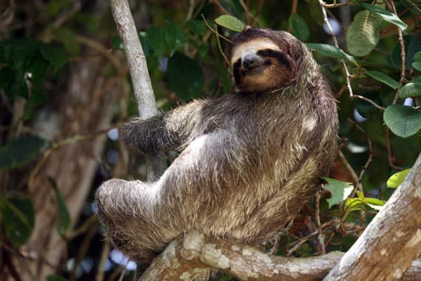 3 toed sloth sleeping on a branch on a Panama land tour.