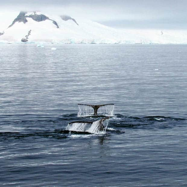 Two whale tails seen from a small ship in Antarctica.