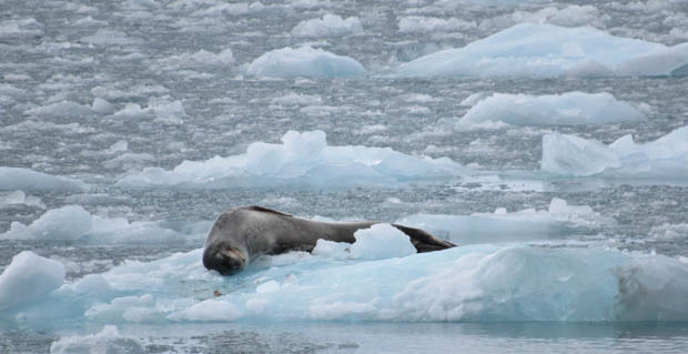 Seal resting on small icebergs seen from a small ship in ANtarctica.