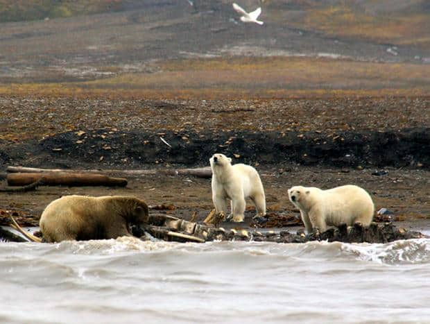 3 large polar bears eating a walrus carcass.