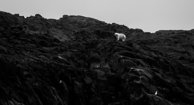 A lone polar bear walking high up on rocks