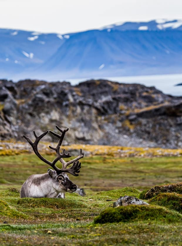 A reindeer relaxing on grassy tundra with cliffs and ocean in the background