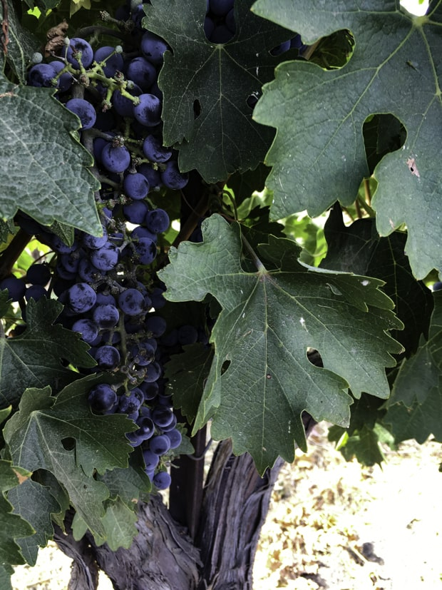Grapes on a vine at a winery tour off a small ship river cruise in the Pacific Northwest.
