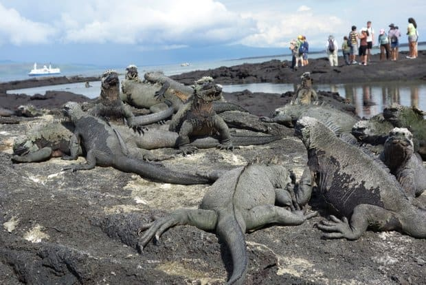 A large group of Galapagos marine iguanas on volcanic rock in a shallow tidal zone with a group of travelers and the small ship cruise Santa Cruz in the background.