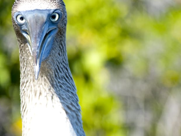 Head of a Blue Footed Booby with its blue beak and eyes.