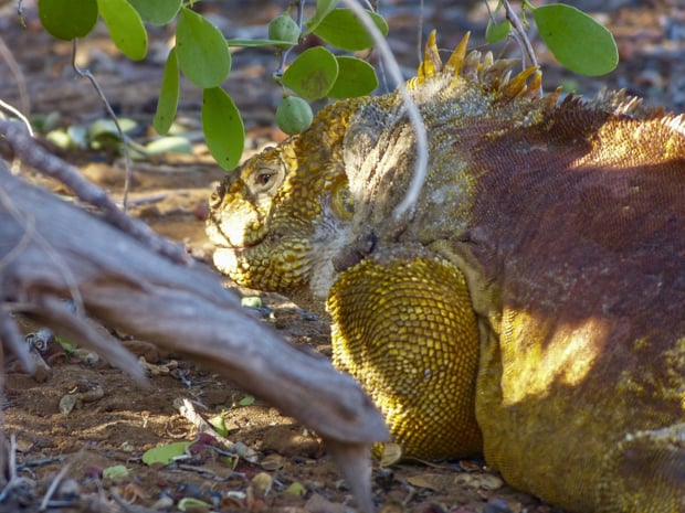 Yellow and red land iguana laying in the shade of a bush on the Galapagos island.