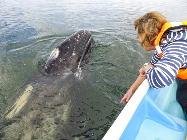 A Baja traveler leaning over the side of a panga looking at the head of a gray whale out of the water.