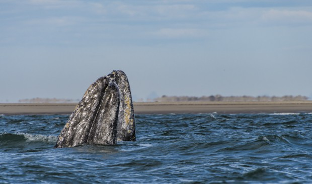 A gray whale's mouth sticking out of the water.