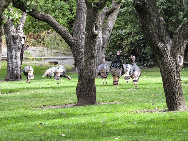 Turkeys seen on a land tour off a small ship river cruise in the Pacific Northwest.