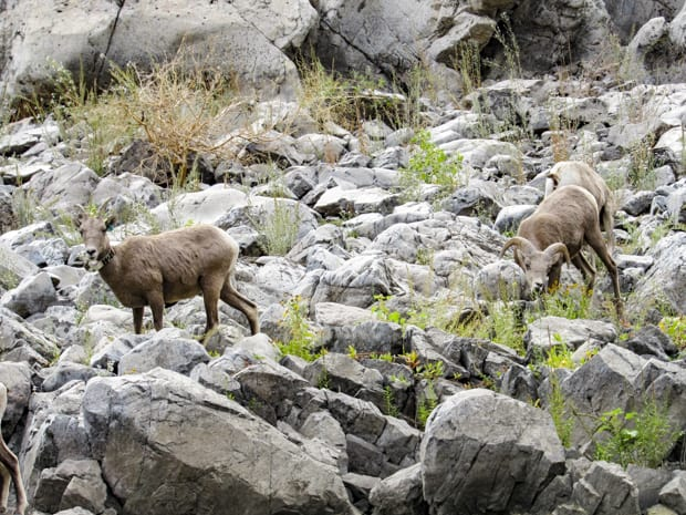 Rocky mountain sheep seen from S.S. Legacy small ship river cruise in the Pacific Northwest.