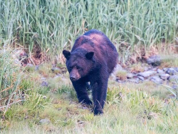 A black bear walking the grass in Alaska.