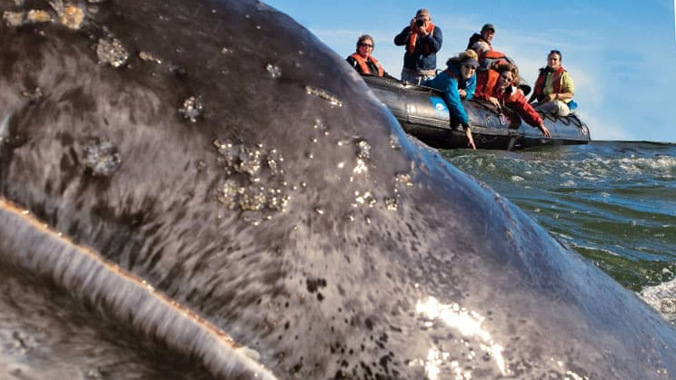 grey whale in the foreground with a group of whale watchers on a skiff in the background in Baja