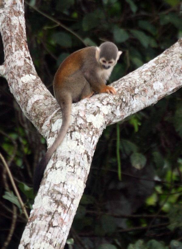 A spider monkey climbing a tree in the Ecuadorian Amazon jungle.