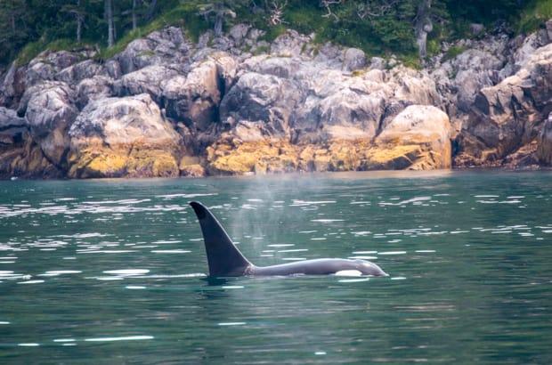 An Orca swimming in Alaska.