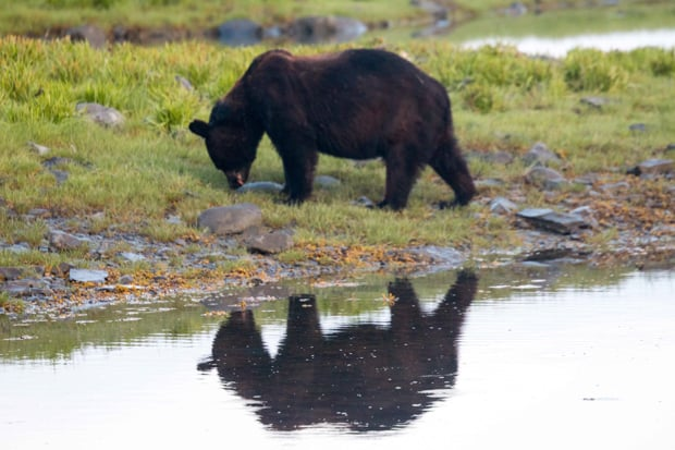 A black grazing near the shoreline in Alaska.