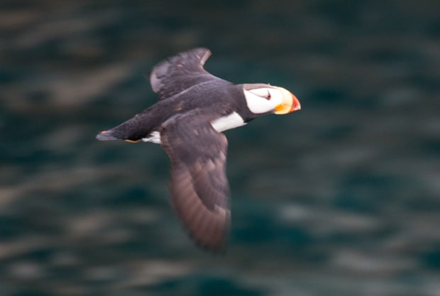 A puffin flying by in Alaska.
