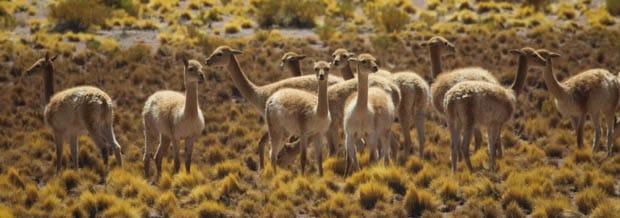 A group of guanacos in a meadow in the Atacama Desert.