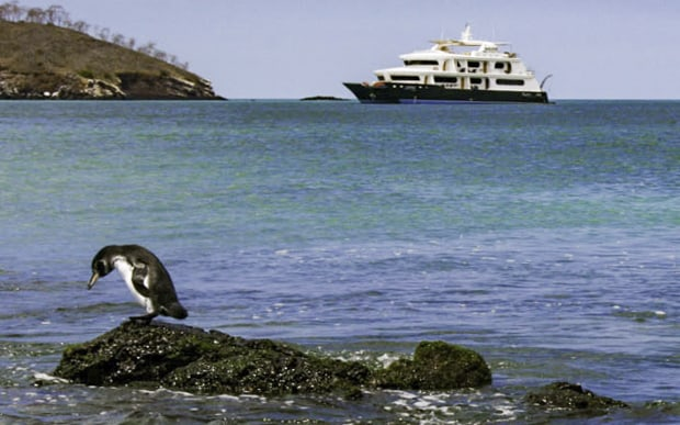 A small Galapagos penguin standing on a rock by the ocean in front of a small ship cruise.