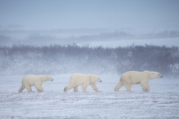 A group of 3 polar bears walks in a line in stormy Arctic conditions