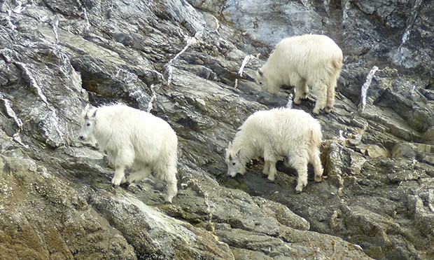 Three mountain goats climbing on rocky cliffside seen on a small ship tour in ALaska.