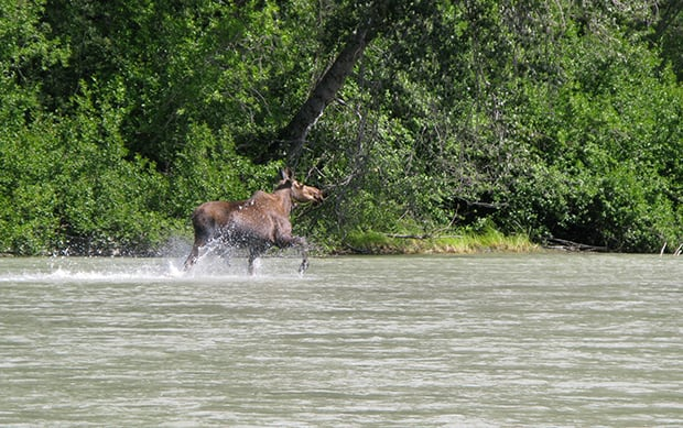 Moose running in the water seen from a small ship tour in Alaska.