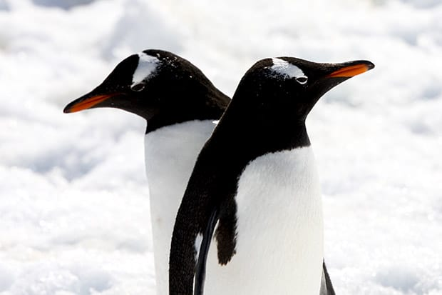 Two up close penguins in the snow on Antarctica as seen from a small ship cruise.