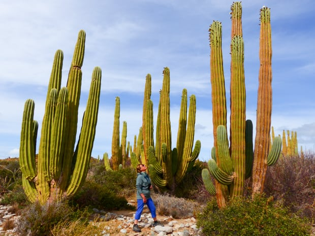 A solo woman traveler looking up at the large cordon cacti surrounding her.