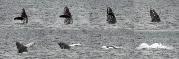Sequence of a Humpback whale breaching seen from a small ship cruise in Alaska.