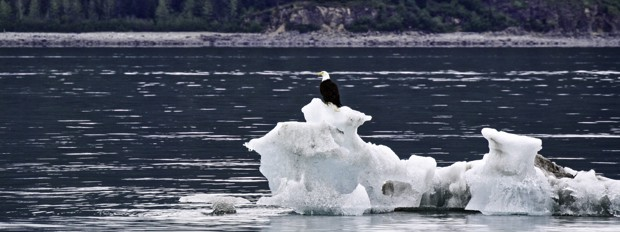 A bald eagle perched on top of an iceberg floating off the shoreline in Alaska.