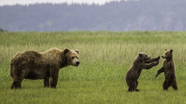 Alaskan brown bear and two small cubs playing in the grass.