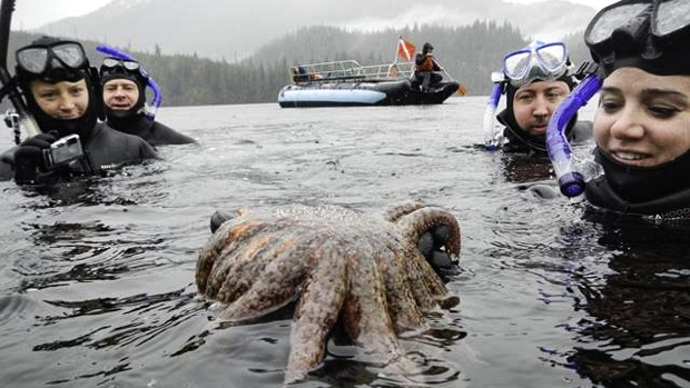 A group of Alaskan travelers and guide snorkeling looking at a starfish with a zodiac behind them.