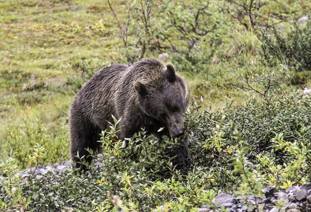 Brown bear seen from land tour in Denali National Park in Alaska.