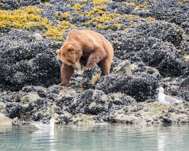 Alaskan brown bear scraping mussels from a low tidal flat.