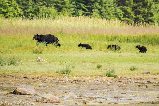 Family of black bear and 3 cubs walking in a green pasture in Alaska.
