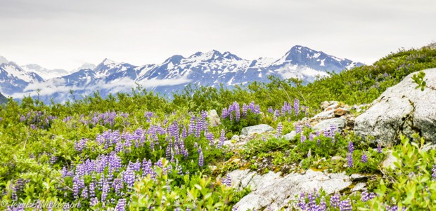 Purple lupins spread throughout a hillside of green bush and trees with snow capped mountains.