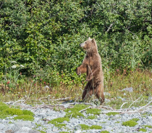 Alaskan brown bear standing on its hind legs looking out on a rocky shoreline.