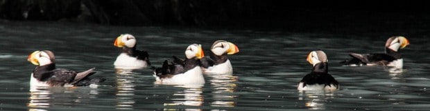 Puffins seen from a small ship cruise in Kenai Fjords Alaska.
