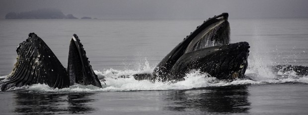 2 humpback whales coming out of the Alaskan waters with their mouths open.