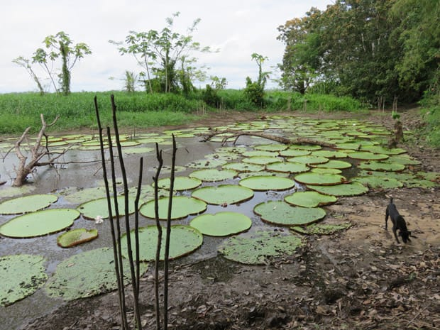 A large group of lily pads in the Peruvian Amazon jungle.