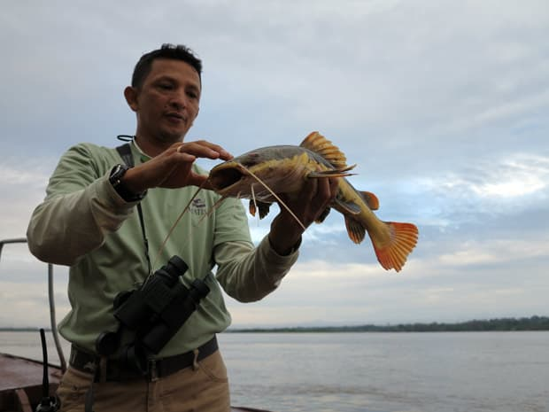 A guide holding a large catfish caught in the Peruvian Amazon river.