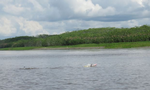 A small peak of a pink dolphin swimming in the Peruvian Amazon jungle.