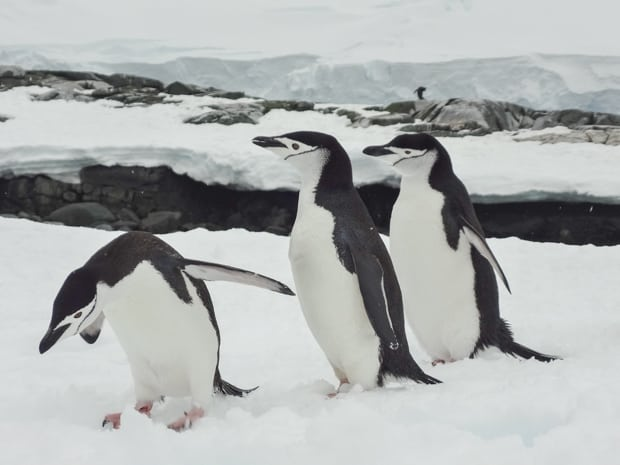 Three penguins on snow seen on a land tour off a small ship in Antarctica.